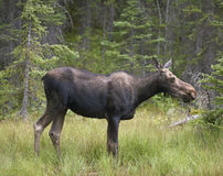 Young elk in the forest. Alberta. Canada Royalty Free Stock Photos