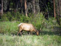 Young Elk Grazing Stock Image