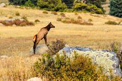 Young Elk Stock Photography