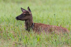 Young Elk Laying in Grassy Field Stock Image