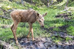 Young elk or moose in norway Stock Photography