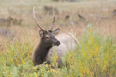 Young elk in willows Stock Images