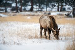 Young Elk in Winter Royalty Free Stock Images