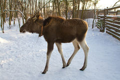Young elk in winter Stock Photo