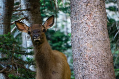 Young Elk Stock Images