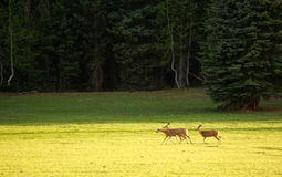 Young elks running in field Royalty Free Stock Image