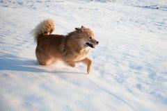 Dog runs throught the snow Stock Photos