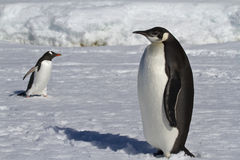 Young emperor penguin and Gentoo penguins Royalty Free Stock Photography