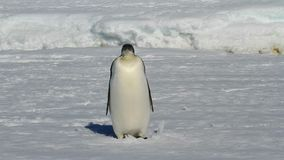 Young emperor penguin who stands on frozen ocean winter sunny day stock video footage