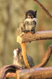 Young emperor tamarin Royalty Free Stock Photos