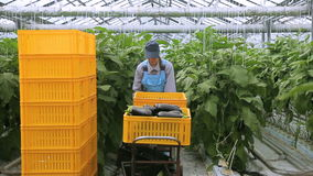Young employee moves cart with harvest of aubergines in agro industrial complex. She transfer trolley with containers. Young employee moves cart with harvest of stock video