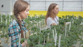 Young employees tie tomato seedlings in greenhouse of agroholding indoors. stock footage
