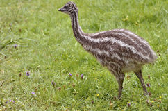 Young emu on the grass. Young emu (Dromaius novaehollandiae) on grass Stock Image
