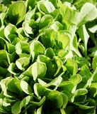 Young endive plants in a pot. Young endive in a pot commonly called escarole Royalty Free Stock Photo