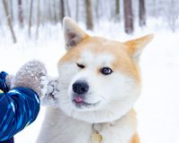 Young energetic Akita dog for a walk. Walking outdoors in the winter. Dog and child interaction stock photo