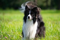 Young energetic dog on a walk. Border Collie. Sunstroke, health of pets in the summer. How to protect your dog from overheating.Training of dogs. Whiskers stock photos