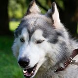 Young energetic dog on a walk. Siberian husky. Sunstroke, health of pets in the summer. How to protect your dog from overheating.Training of dogs. Whiskers stock photos