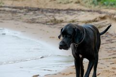 German Great Dane. A young, energetic German Great Dane walks on the beach after a storm. The obedient pet executes commands of the owner. Harmony in royalty free stock photo