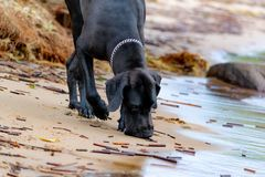 German Great Dane. A young, energetic German Great Dane walks on the beach after a storm. The obedient pet executes commands of the owner. Harmony in stock images