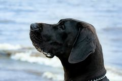 German Great Dane. A young, energetic German Great Dane walks on the beach after a storm. The obedient pet executes commands of the owner. Harmony in stock photos
