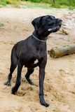 German Great Dane. A young, energetic German Great Dane walks on the beach after a storm. The obedient pet executes commands of the owner. Harmony in stock image