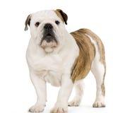 Young english Bulldog stock image