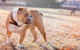 Young english bulldog Stock Photography