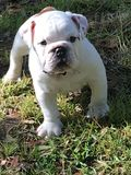 Young english bulldog Royalty Free Stock Photography