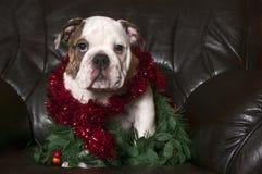 Young english bulldog royalty free stock photo