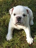 Young english bulldog Stock Photos