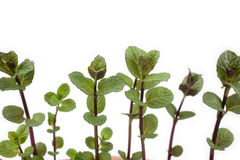 Young English mint Royalty Free Stock Images