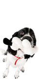 Young english springer spaniel. With a toy isolated on white Stock Images