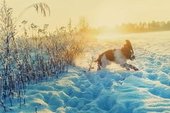 The young Springer Spaniel run on snow field Stock Image