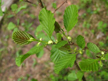 Young escape of an alder black (Alnus glutinosa L.).  royalty free stock images