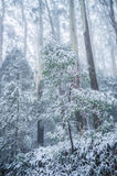 Young eucalyptus tree covered in snow. Winter in Australia Royalty Free Stock Image