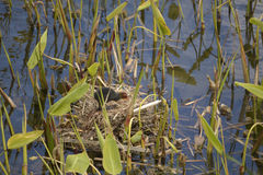 Young Eurasian Coot in nest Stock Image