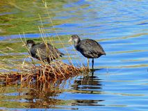 Young eurasian coots stock photo