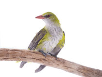 Young Eurasian Golden Oriole Oriolus oriolus Royalty Free Stock Images