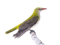 Young Eurasian Golden Oriole Oriolus oriolus. Isolated on a white background Royalty Free Stock Photo