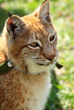 Young eurasian lynx on a leash Royalty Free Stock Images