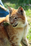 Young eurasian lynx on a leash Stock Image