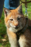 Young eurasian lynx on a leash.  Royalty Free Stock Images