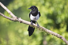 Young Eurasian magpie on a natural perch. A young Eurasian magpie sat on a natural branch facing the camera against a natural green background Royalty Free Stock Images