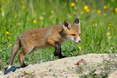 Young eurasian red fox Stock Photo