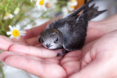 Young Eurasian Swift Stock Images
