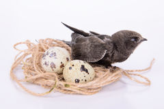 Young Eurasian Swift. Portrait of an Young Eurasian Swift, in a bird's nest with eggs,   on white background Stock Photos