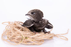 Young Eurasian Swift Royalty Free Stock Images