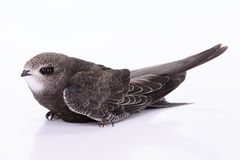 Young Eurasian Swift Stock Image