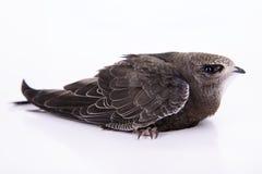 Young Eurasian Swift Royalty Free Stock Photo