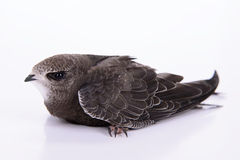 Young Eurasian Swift Royalty Free Stock Image
